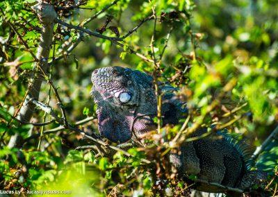 Iguane Bresil, rio Preguiças