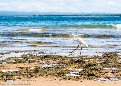 Bresil, Bahia Barra grande - aigrette sur la plage