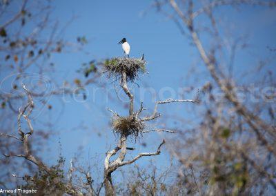 Brésil - Jabiru, oiseau emblème du Pantanal