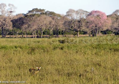 Brésil, Pantanal - Arbres roses, biche, grande aigrette savane