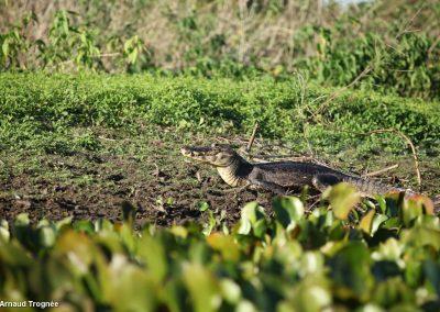 Brésil, Pantanal - Crocodile Jacare