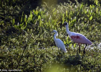 Brésil, Pantanal - Grande aigrette