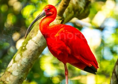 ibis-rouge-bresil-scarlet-reserve-animaux-oiseau-bresil-iguacu