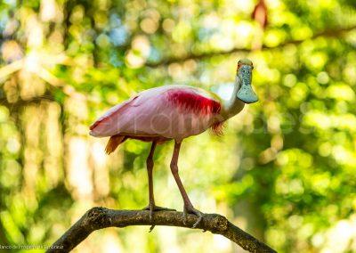 Spatule rose bird, Iguacu Brésil